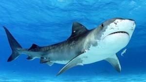 123ocean-tiger-shark